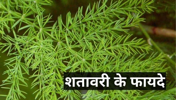 शतावरी के फायदे   Shatavari Ke Fayde