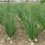 Onion Farming Business