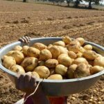 Potato Farming Business