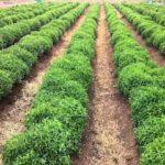Stevia Medicinal Plant